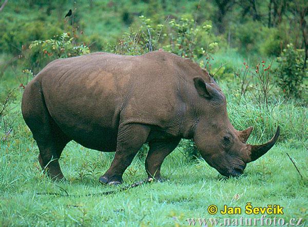 Rhinoceros--ceratotherium-simum