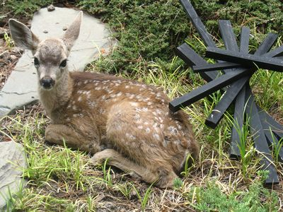 Fawn in the back yard