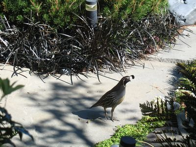 California Quail in the front yard