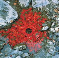 Andy Goldsworthy  art work using red maple leaves