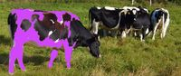 Holstein-cows-on-fields.purple