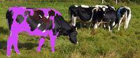 Holstein-cows-on-fields.purple