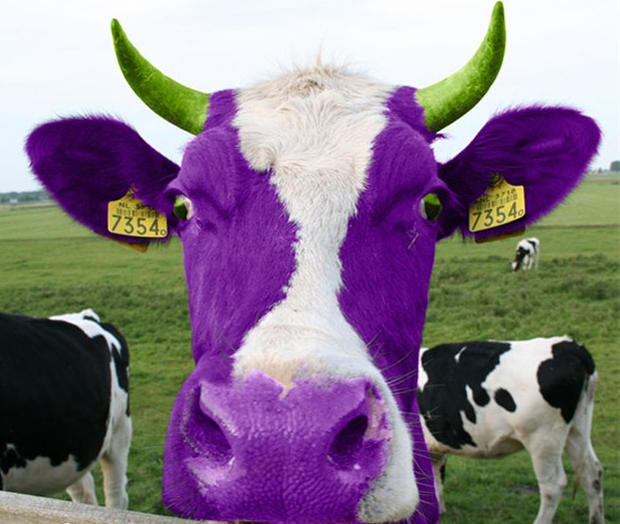 Purple cow in your face